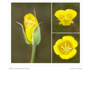 Yellow Mariposa Lilies by