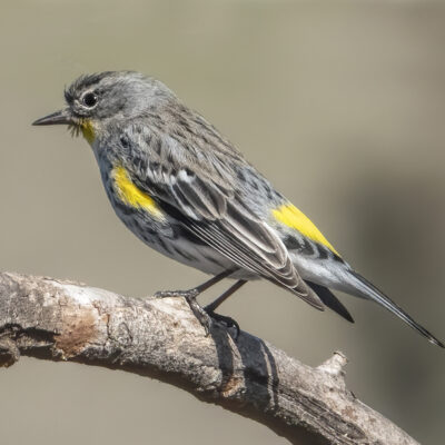 Yellow-Rumped Warbler by