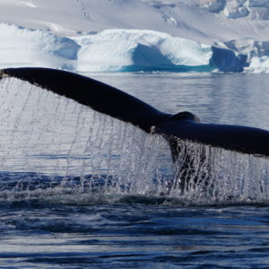 Whale's Tail by